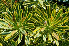 Colorful leaves of garden croton, Codiaeum variegatum. Interesting colorful leaves of the garden croton tree, Codiaeum variegatum, in San Diego Zoo, California royalty free stock images