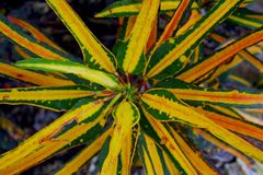 Colorful leaves of garden croton, Codiaeum variegatum. Interesting colorful leaves of the garden croton tree, Codiaeum variegatum, in San Diego Zoo, California royalty free stock photography