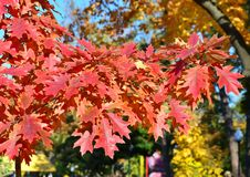 Colorful leaves hang on an autumn tree, bright colors of nature royalty free stock image