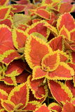 Colorful leaves of healthy Coleus plant Royalty Free Stock Photos