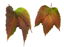 Colorful leaves isolated Stock Photography