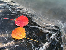 Colorful leaves isolated on stone. With water drops Stock Photo