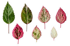 Colorful leaves. Royalty Free Stock Image