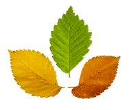 Colorful leaves isolated on white background. stock photography