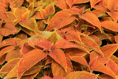 Colorful leaves of lush Coleus plant Stock Image
