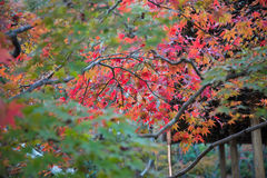 Colorful leaves on maple tree in garden Stock Photos