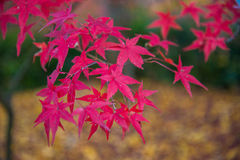 Colorful leaves on maple tree in garden Stock Images