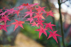 Colorful leaves on maple tree in garden Royalty Free Stock Photo