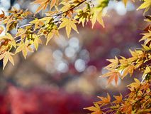 Maple trees in autumn in Japan. Colorful leaves of maple trees in fall in Japanese parks royalty free stock photography