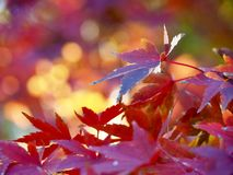Maple trees in autumn in Japan. Colorful leaves of maple trees in fall in Japanese parks royalty free stock images