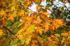 Colorful leaves of an oak tree in autumn Royalty Free Stock Image