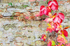 Colorful leaves on old brick wall Stock Photography