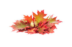 Colorful leaves and one chestnut on a white. Stock Photography