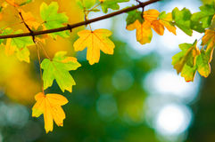 Colorful leaves in the park  on sunny autumn day Stock Photos