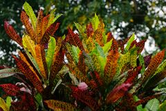 The colorful leaves of a Petra Croton plant. stock photos