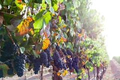 Colorful leaves, ripe red wine grapes on the vine at harvest Royalty Free Stock Photography