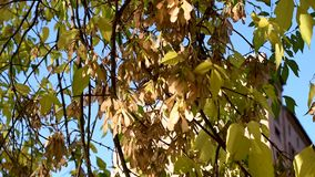 Beautiful autumn leaves with berries and seeds develop in the wind in the open air. Colorful leaves of Rowan, maple, birch and various deciduous trees in the stock video footage