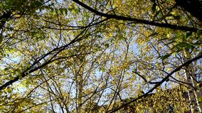 Beautiful autumn leaves with berries and seeds develop in the wind in the open air. Colorful leaves of Rowan, maple, birch and various deciduous trees in the stock footage