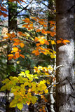Colorful Leaves with sunbeams in Autumn Forest Royalty Free Stock Photo