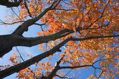 Colorful leaves on tree. Scenic view of colorful Autumnal leaves on tall trees Stock Photo