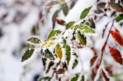 Colorful leaves of the tree covered with frost stock photo
