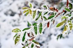 Colorful leaves of the tree covered with frost stock images