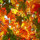 Colorful leaves on tree Royalty Free Stock Photo