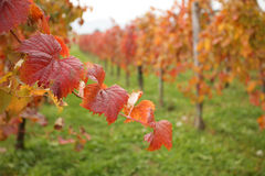 Colorful leaves in vineyard Stock Image