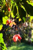 Colorful leaves of Virginia creeper in autumn Stock Photography