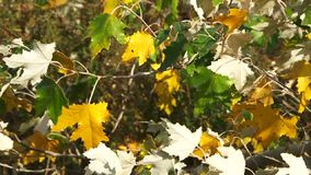 Colorful Leaves stock video