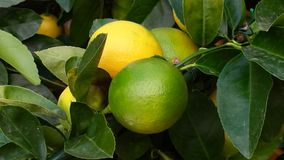 Colorful lemon tree branch. The cultivation of lemons in the garden Stock Images