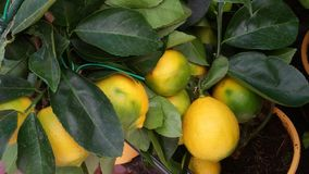 Colorful lemon tree branch. The cultivation of lemons in the garden Royalty Free Stock Photo