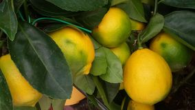 Colorful lemon tree branch. The cultivation of lemons in the garden Stock Photos