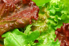 Colorful lettuce leaves Royalty Free Stock Photo