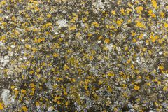 Colorful lichen covering on surface of granite stone royalty free stock image