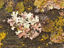 Colorful lichen growing on old wood. Multi-colored lichen grows in many forms on old wood Royalty Free Stock Photos