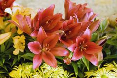 Colorful lilies Royalty Free Stock Photography