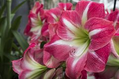 Colorful lilies flowers. Royalty Free Stock Images