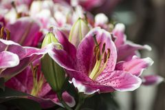 Colorful lilies flowers. Stock Image