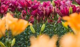 Colorful lilies at summer garden Stock Photos