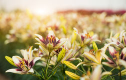 Colorful lilies at summer garden Royalty Free Stock Photo