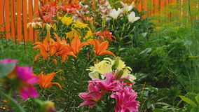 Colorful lilies under the rain stock video