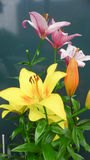 Colorful lilly Royalty Free Stock Image
