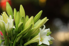 fresh lily flowers Stock Photography
