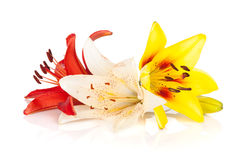 Colorful lily flowers Royalty Free Stock Photo