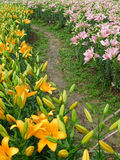 Colorful lily  flowers with path Royalty Free Stock Photo