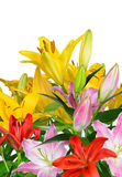 Colorful lily flowers Royalty Free Stock Images