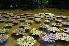 Colorful lily pad clusters in pond Royalty Free Stock Photo