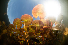 Colorful Lily Pads and Sunlight in Lake Royalty Free Stock Photos