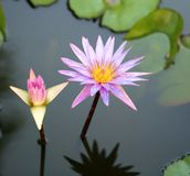 Colorful lily in a pond Stock Photography